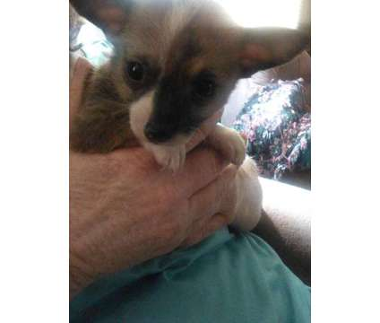 toy chihuahua puppy is a Male Chihuahua Puppy For Sale in Wilmington NC