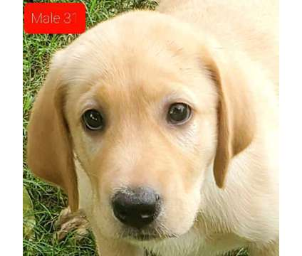 Akc Yellow Male Lab Puppy is a Yellow Male Labrador Retriever Puppy For Sale in Houston TX
