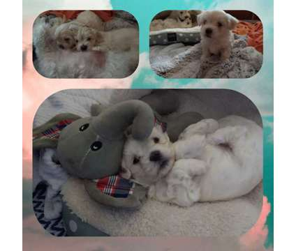 Maltese puppies for sale is a Male Maltese Puppy For Sale in Navarre FL