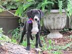 Labrador Retriever For Adoption In Newburgh, New York