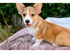 Pembroke Welsh Corgi Puppy for sale in Syracuse, IN, USA