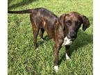 Adopt Sweet Lilly.... a Brindle - with White Plott Hound / Mixed dog in Ft Myers