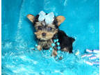 Yorkshire Terrier Puppy for sale in Anderson, SC, USA
