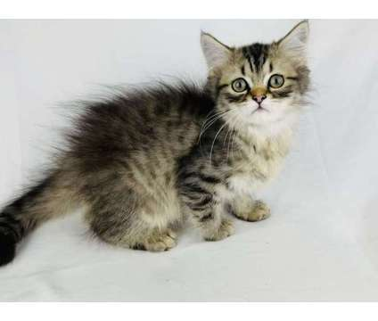 Napoleon Minuet Munchkin and Persian kittens for adoption is a Male Persian Kitten For Sale in Nashville TN