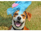 Adopt POLLYWOG a Tan/Yellow/Fawn - with White Beagle / Mixed dog in Louisville
