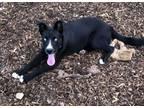 Adopt Frankie A Australian Cattle Dog / Blue Heeler, Husky