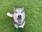 Adopt SIENNA a White - with Black Husky / Mixed dog in Charlotte, NC (32061599)