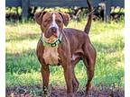 JACKSON Boxer Young Male