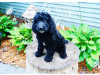 Goldendoodle Puppy for sale in Hudson, WI, USA