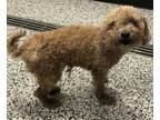 Adopt Nick Fury a Red/Golden/Orange/Chestnut Poodle (Miniature) / Mixed dog in