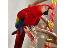 scarlet macaw available for rehoming