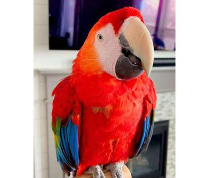 scarlet macaw available for rehoming is a Red Female Macaw Free in Houston TX