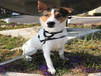 Adopt ATTICUS a White - with Brown or Chocolate Collie / Ibizan Hound / Mixed