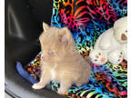 Pomeranian Puppy for sale in Bostic, NC, USA