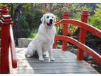 Golden Retriever Puppy for sale in Nashville, TN, USA