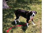 Luca, Pit Bull Terrier For Adoption In Billings, Montana