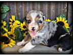 Australian Shepherd Puppy for sale in Waco, TX, USA