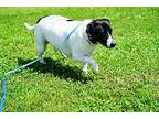 Juan Jack Russell Terrier Young Male