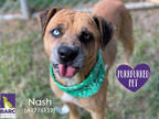 Adopt NASH a Tan/Yellow/Fawn - with White Black Mouth Cur / Mixed dog in