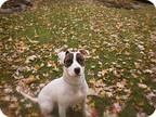 Adopt Target a White - with Brown or Chocolate Bull Terrier / Mixed dog in