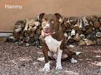 Adopt HAMMY A Brown/Chocolate - With White American Pit Bull Terrier / Mixed Dog
