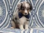 Australian Shepherd Puppy for sale in Unknown, , USA