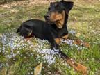 Adopt Scooby a German Pinscher, Mixed Breed