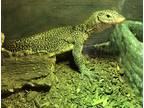 Adopt Java a Lizard reptile, amphibian, and/or fish in Riverside, CA (32170977)