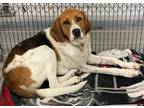 BO Treeing Walker Coonhound Young Male