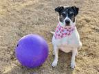 Adopt ZENA a White - with Brown or Chocolate American Pit Bull Terrier / Pointer