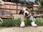 Freddy Jack Russell Terrier Puppy Male