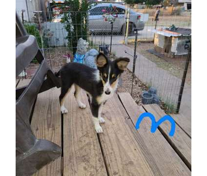 AKC young Sheltie puppy's, Male is a Male Shetland Sheepdog in Odessa TX