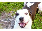 Lilly American Staffordshire Terrier Young Female