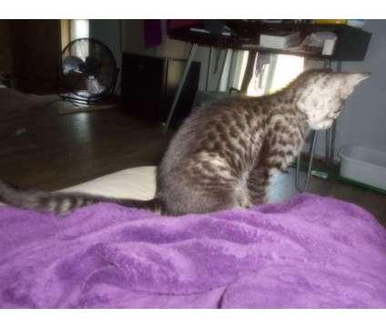 Dolce is a Female Kitten For Sale in Hamilton KS