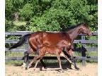 2021 Tall Athletic Irish Sporthorse Colt