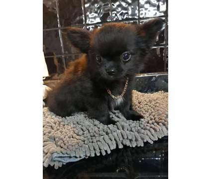 Gorgeous Chihuahua male Puppy for sale Show Potential is a Male Chihuahua Puppy For Sale in Caernarfon GWN