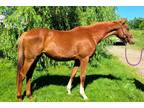 2yr old Thoroughbred Filly for Race or For Sport