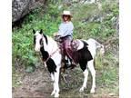 Paint/Quarter Horse Trail/Ranch Gelding