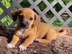 Finn Chihuahua Puppy Male