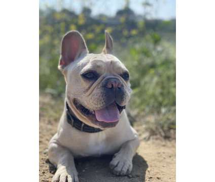 Male French Bulldog for sale is a Male French Bulldog For Sale in Irvine CA