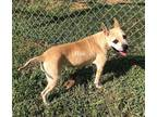 Adopt Hidi a Tan/Yellow/Fawn - with White Staffordshire Bull Terrier / Boxer /