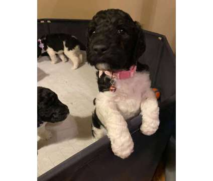 Standard Poodle is a Female Standard Poodle For Sale in Houston TX