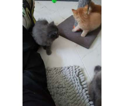 4 kittens for sale is a Male Maine Coon Kitten For Sale in Arlington MA