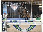 Winning 120m130m gelding Ready to take you to the top