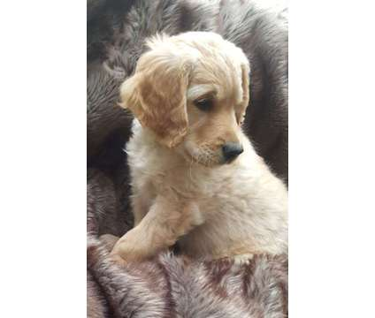Golden Retriever puppies for sale is a Female Golden Retriever Puppy For Sale in Calgary AB