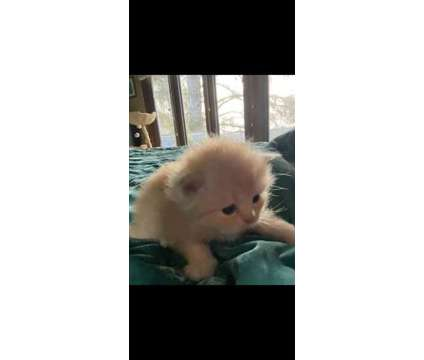 Pure Bred CFA Registered Persian Kittens is a Male Persian Kitten For Sale in Cannon Beach OR