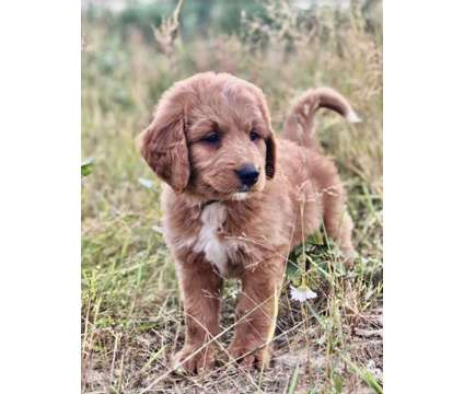 Bernedoodle Puppies is a Puppy For Sale in Langley BC