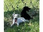 Yin Basset Hound Puppy Male