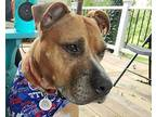 G Money American Staffordshire Terrier Adult Male