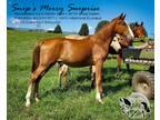 100 Heritage Eligible TWHBEA Foundation Bred Stud Colt